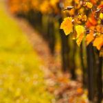 Weinlaub im Herbstaufgenommen
