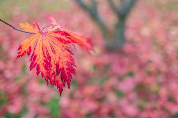 Herbstlaub Fächerahorn - Fuji XF 1,4/23 mm