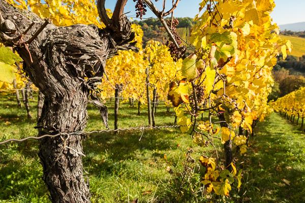 Weinstock mit Herbstlaub in gelb
