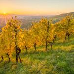 Weinberg im Herbstlaub im Sonnenuntergang