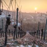 Alte Rebe im Sonnenuntergang im Winter mit Eis