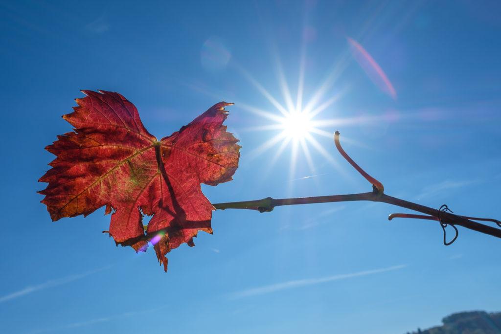 Weinblatt mit Sonnenstern