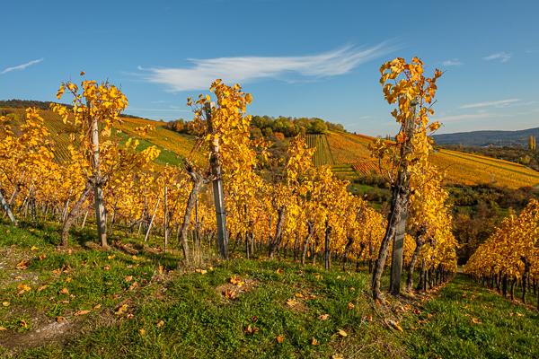 Weinberg im Herbst - Oktober